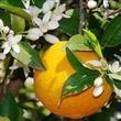 huile essentielle néroli (fleur d'oranger amer)